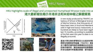 HKU highlights scale of illegal and unreported Humphead Wrasse trade into and through HK